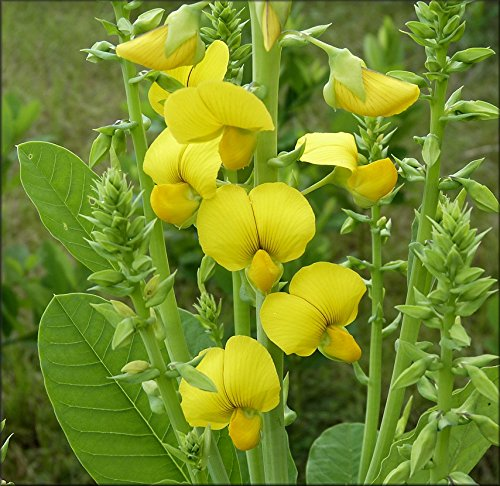 seedsfromHungary Crotalaria spectabilis, nice yellow flower, 20 seeds