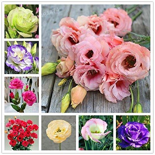 SwansGreen 200pcs Seltene Mischfarbe Eustoma Samen Staude Blütenpflanzen Lisianthus Samen Bonsai Blumensamen für Hausgarten