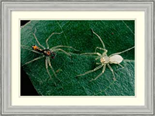 Framed Wall Art Print Jumping Spider Colorful Male and Pale Female Courting Sri Lanka by Mark Moffett 26.75 x 20.12