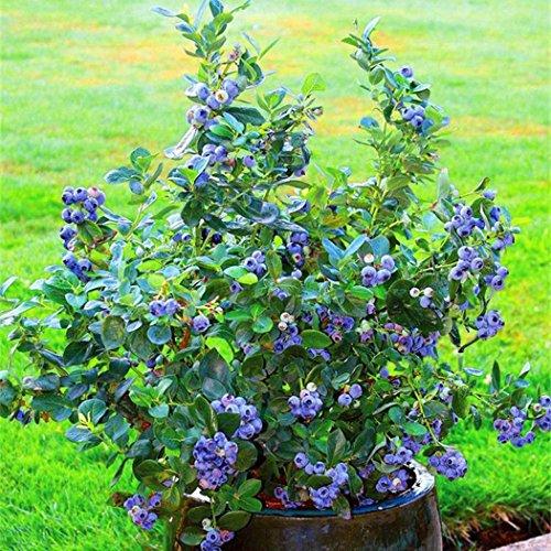 AIMADO Samen-50 Pcs Heidelbeere Bio Obst Samen,Schmecken so lecker wie Waldheidelbeeren,extrem aromatische Beeren
