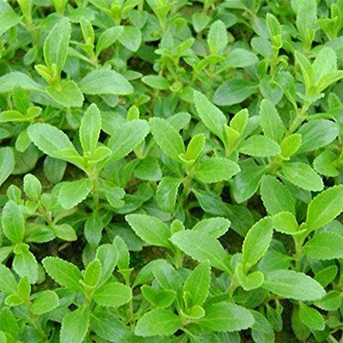 Imixlot 50 PCS/Paquet Graines Stevia herbe Semences pour jardin meilleur thé pour la santé rebaudiana pour la plantation de jardin