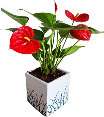 Rolling Nature Air Purifying Red Anthurium Plant in White Cube Aroez Ceramic Pot
