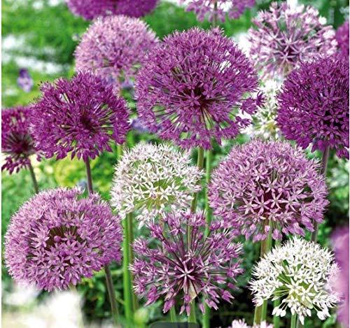 Gartensamen SummerRio- Riesen Zierlauch Sternkugel Lauch Allium giganteum Blumenlauch mehrjährig winterhart Garten Kräuterpflanznen Saatgut Zierpflanzen Zwiebelpflanzen (#05)