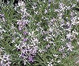 Bobby-Seeds Blumensamen Nachtviole, lavendel Portion