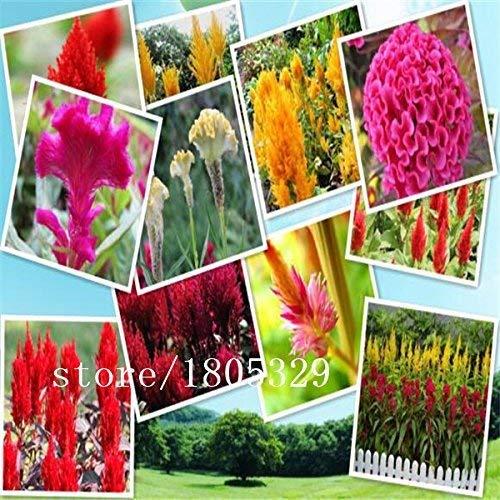 Gran venta Celosia Cristata Gigante Red Común Cockscomb Semillas de flores anuales, 100 semillas/paquete Bonsai plantas de jardín