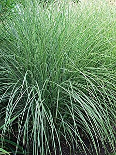 Perennial Farm Marketplace Miscanthus s. 'Morning Light' ((Variegated Maiden) Ornamental Grass, Size-#1 Container, Silvery Foliage with Red Plumes