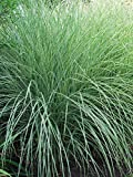 Perennial Farm Marketplace Miscanthus s. 'Morning Light' (Variegated Maiden) Ornamental Grass, Size-#1 Container, Silvery Foliage with Red Plumes