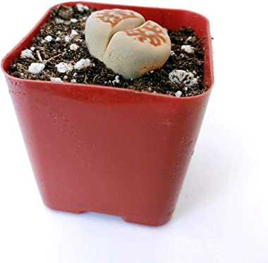 Lithops Succulent | Living Stones Raw Stone Cactus Succulent | Unique Succulent Gift Decoration (2 inch)