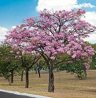 Seeds Tabebuia Rosea Tree Pink Poui Flowering Get 15 Fresh Seeds Easy Grow AB007