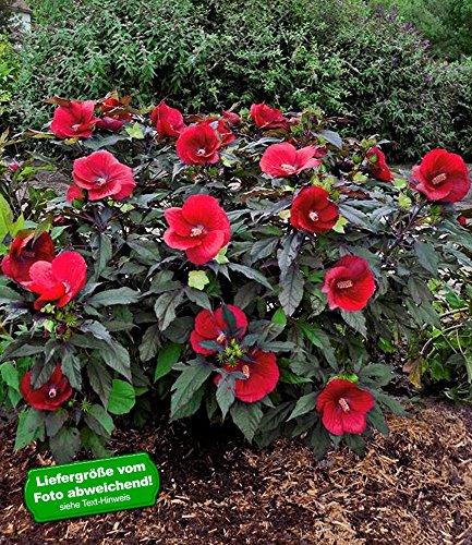 BALDUR Garten Winterharter Hibiskus Summerific®Midnight Marvel; 2 Pflanzen Hibiscus Hybride