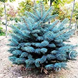 SwansGreen Sale!50pcs/lot Evergreen Colorado Blue Spruce Picea Pungens Glauca Tree Seeds + secret gifts Bonsai plant flower seeds Free Ship
