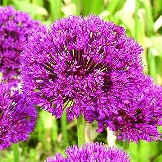 Portal Cool Allium púrpura de los bulbos de cebolla ornamental Sensation Jardín Primavera Flores 10X Frontera
