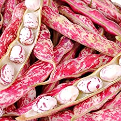 ABOUT - Versatile and colourful bean with its reddish streaks can be eaten young when the pods are semi mature with tender seeds or left to mature when the ripe seeds can be used as haricot beans. SUITABLE FOR - Vegetable plot, raised beds SPECIFICAT...