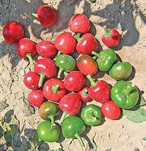 GEOPONICS 100 -: Cocula F1 Hybrid Hot Peppers- Diese sind von hoher Qualität Serrano Paprika !!!