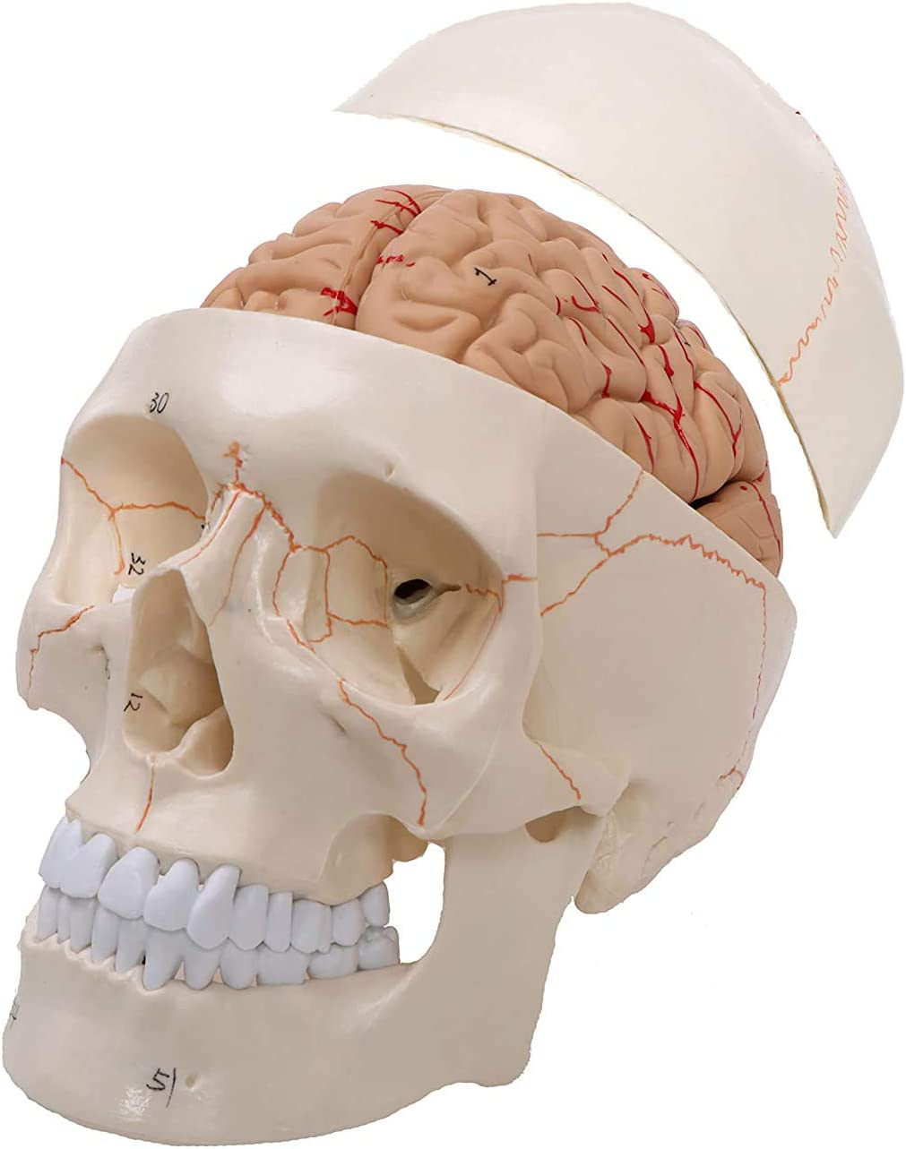 UIGJIOG Human Selling rankings Skull Model 2021 autumn and winter new Life-Size Professional with Grad Brain