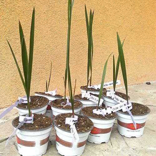 Samen Paket: Jubaea Chilensis - Palm - frostsicher - 15 cm (6') Plant - Keimlinge