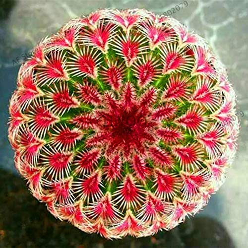 200 Rare Seeds Mix Lithops Lig Pietre Succulente Garden Organic Seed Bulk, Semi Bonsai per s succulenti Interni