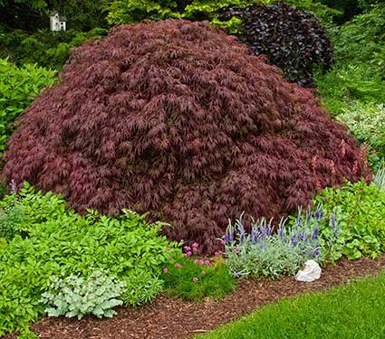 Crimson Queen Weeping LACE Leaf Japanese Maple - Acer palmatum dissectum 'Crimson Queen' 2 - Year Plant