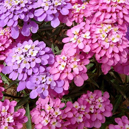 Fuduoduo JardineríA Aire Libre,Valentine Plants Bee Semillas de Flores ventriculares-0.25kg_Color Mixto,Mezcla Semillas Ornamentales