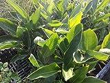 Sterlizia Regina Piante di Sterlizia in Vaso 7x7-5 Piante