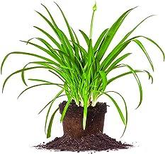 Perfect Plants Blue Agapanthus Live Plant, 1 Gallon, Includes Care Guide