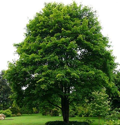 Baum des Jahres 2009 - Bergahorn im Container Größe 125 bis 150 cm
