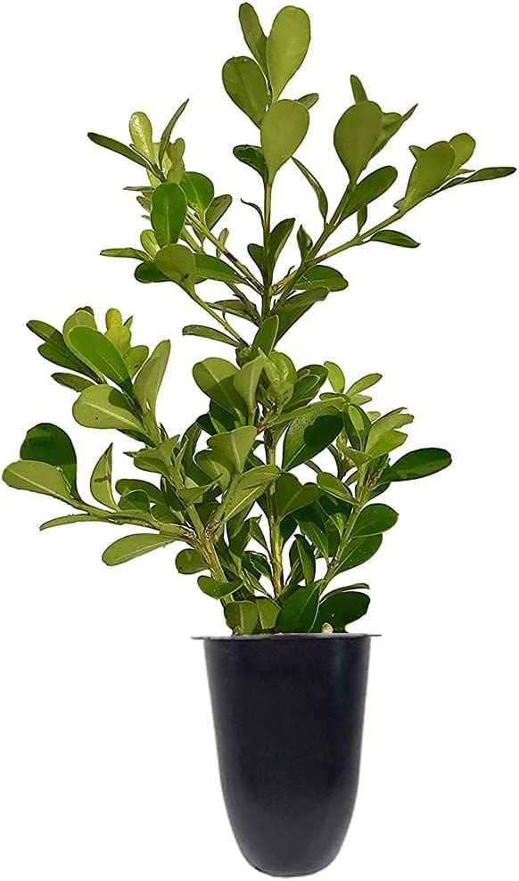 Japanese Boxwood - 30 Live Choice Plants Growing Max 69% OFF Hard Cold Buxus Fast