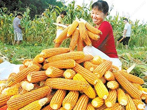 20 doux arc-en-maïs Semences de maïs grains colorés Céréales Graines de haute qualité des légumes pour jardin Facile à cultiver Livraison gratuite