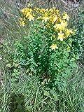 Asklepios-seeds® - 10.000 Semi di Hypericum perforatum, Iperico,erba di San Giovanni