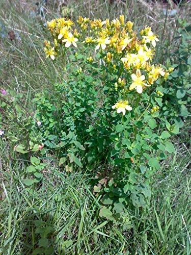 Asklepios-seeds® - 10.000 Semillas de Hypericum perforatum hipérico, hipericón, corazoncillo, hierba de San Juan, amnica, cientoenrama, corazón de ciervo, corión