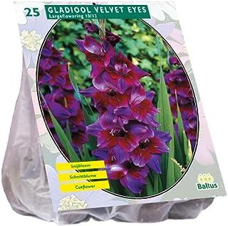 Baltus Gladiolus Velvet Eyes Piezas 25bulbos de Flor siembra en Primavera, única
