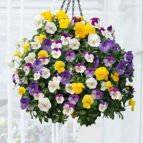 BloomGreen Co. Blumensamen: Stiefmütterchen Viola Misch Pflanze Blumen Blumensamen für Garten Balkon Garten [Home Garten Samen Eco-Pack] Pflanzensamen