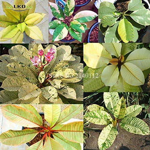 Plumeria rubra panach 233; Frangipani graines Mix Rare r 233;el Madame Poni Arbre Succulent Plumeria panach 233; graines Mix R2