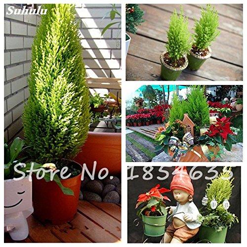 Promotion! Exotique Pine Tree Seed Picea Arbre en pot Cour Jardin Bonsai usine Pine Tree Seed Party Decor 30 Pcs