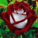 pittospwer 20Pcs Rare Red White Osiria Ruby Rose semi di fiori Home Garden pianta regalo