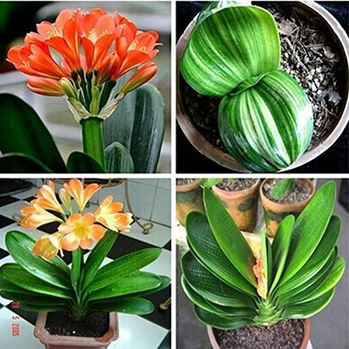 10Stück/Clivia Samen Pflanzen Bonsai Blume Samen