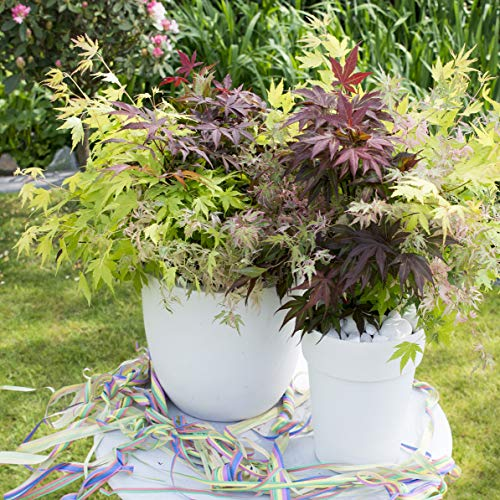 You Garden Limited Acer' Festival Tricolour' 3 one 3L Pot 50-70cm Tall Shrub Plant, Mixed Colour
