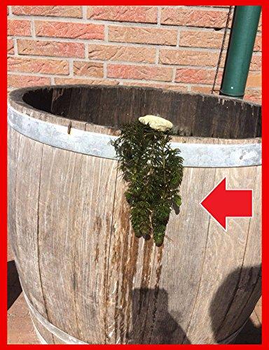 5 Bund/Portionen Hornkraut, Ceratophyllum demersum, für Teich