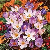 Inkeme Seed House - 50 pcs Graines de crocus au safran à grandes fleurs Crocus d'automne Crocus d'automne Crocus de jardin elfique Crocus de jardin Graines pour tapis de fleurs magnifiques