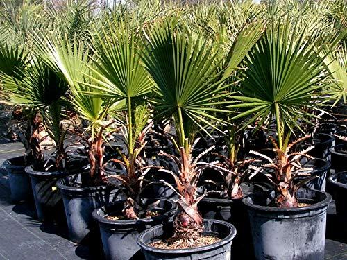 Palma Washingtonia Filifera Palma Californiana in mastello ø40 cm h.100/150 cm