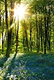 empireposter Forests - Sunrise Bluebell Wood - Poster Foto