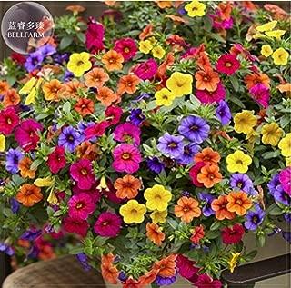petunia lobelia hanging basket