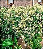 BALDUR Garten Schling-Knöterich Schnellwachsende Kletterpflanze, 3 Pflanzen Polygonum aubertii
