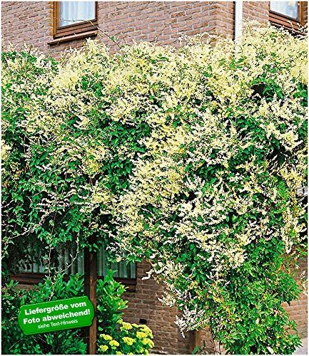 BALDUR-Garten Schling-Knöterich Schnellwachsende Kletterpflanze, 3 Pflanzen Polygonum aubertii