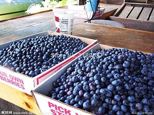 200 semillas de frutas gigante de arándanos americanos Germinación 95% +, semillas de árboles frutales raros para la siembra jardín de su casa