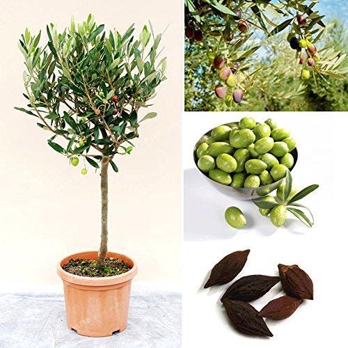 XKSIKjian's Garden 5Pcs Olive Tree Olea Europaea...
