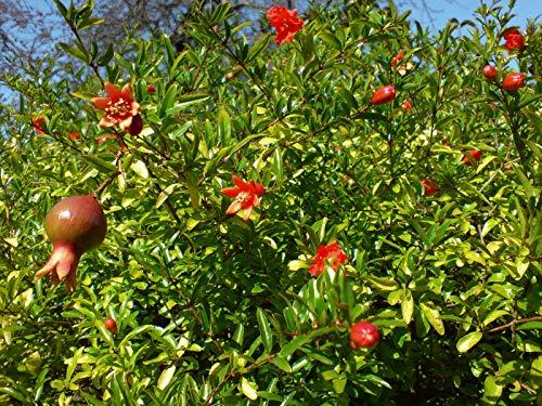Zwerg-Granatapfel Punica granatum 'Nana' Pflanze 5-10cm Granatapfel Rarität
