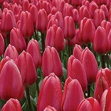 Burpee Cosmopolitan Tulip   10 Large Flowering Fall Bulbs for Planting, Light Pink