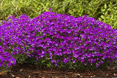 Ultrey Samenshop - Duftend Teppich-Phlox Samen Bodendecker Schleichende Thymian Staudenblumen Staudenbeet Steinkraut Blumensamen winterhart mehrjährig