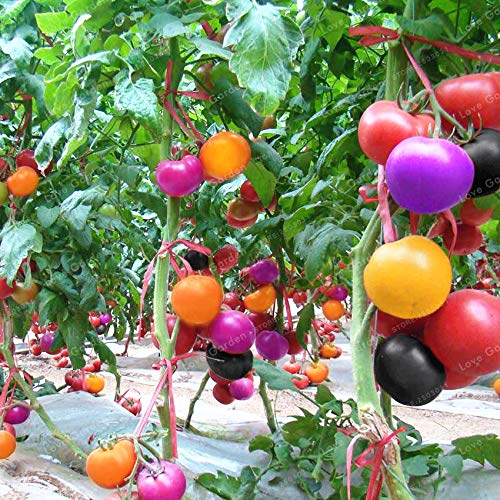 Bloom Green Co. Caliente !200 piezas de flor de azafrán de arco iris, flor de azafrán, bonsái, jardín de azafrán, planta perenne de floración en interiores para el hogar Gard: f